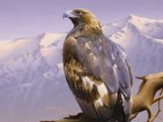 Aigle royale - 2006