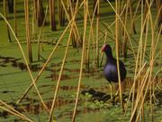 Gallinule, poule d'eau - 2005