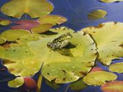 Grenouille léopard - 2005